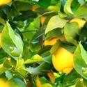 תמונה של שמן לימון