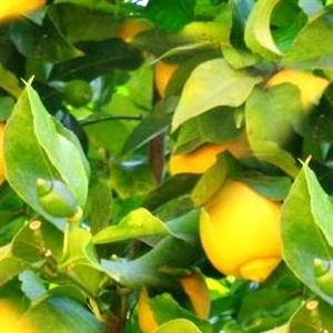 שמן לימון