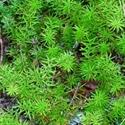 תמונה של שמן עץ התה